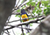 Green backed Trogon